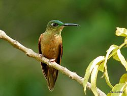 Fawn-breasted Brilliant (Heliodoxa rubinoides) 3.jpg