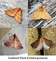 Feathered Thorn Variations (29503833964).jpg