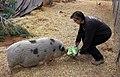 Feeding the pigs (4479311953).jpg