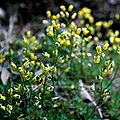 Felsenblümchen (Draba crassifolia) 5794.JPG