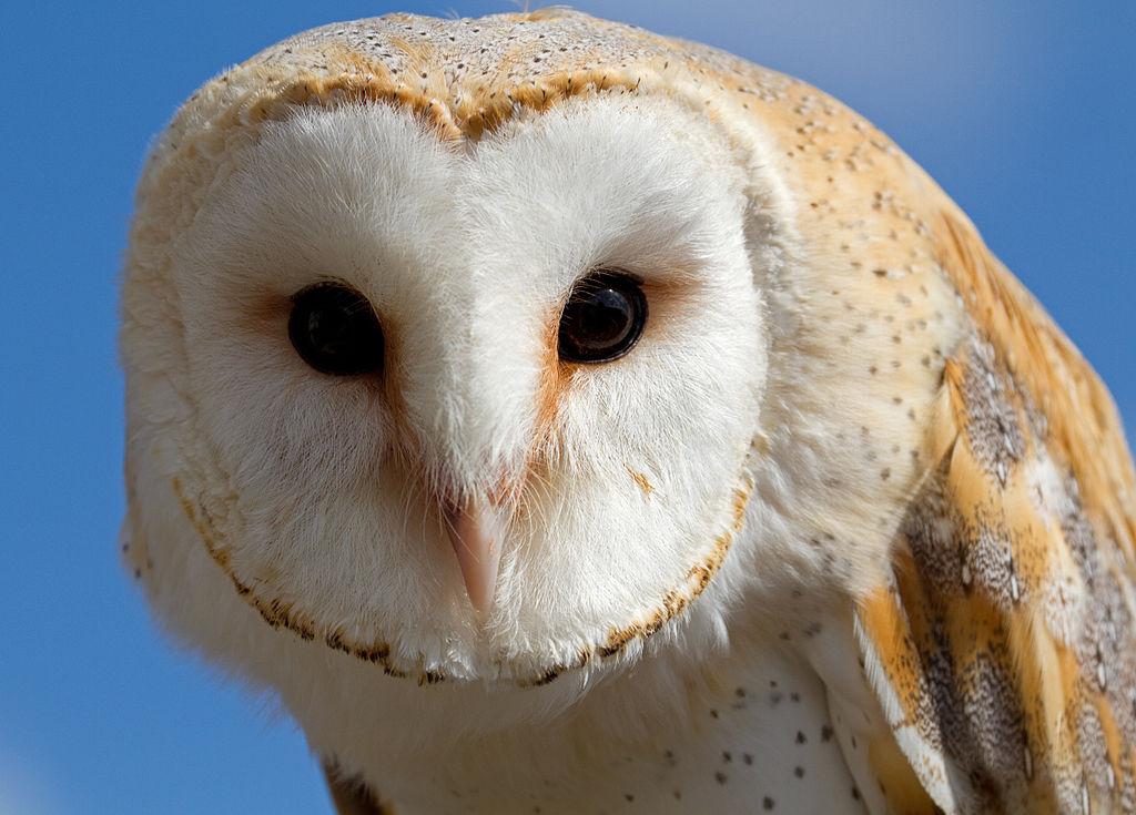 File:Female Barn Owl 1 (6796240760).jpg - Wikimedia Commons