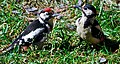 Female great spotted woodpecker feeding young male (2612422717).jpg