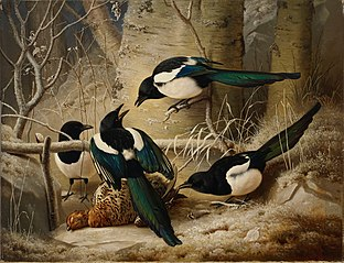 Magpies round a Dead Woodgrouse