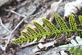 Fern sori on leaf.JPG