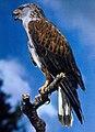Ferruginous hawk (26763830772).jpg