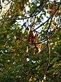 Feuilles mortes sur un arbre.jpg