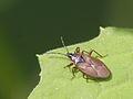 Fichtenzapfenwanze (Lygaeidae- Gastrodes abietum) (7099201049).jpg