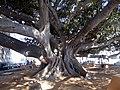 Ficus elastica in Cádiz.jpg