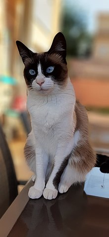 Snowshoe Cat Wikipedia