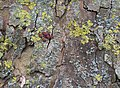 Firebugs on a plane tree (13996116522).jpg