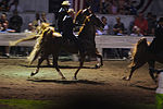 Five Gaited Horses Racking (7714699174).jpg