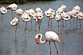 Flamingo in the Camargue park.jpg