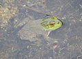 Flickr - Oregon Department of Fish & Wildlife - 2189 frog ee wilson munsel odfw.jpg