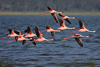 Flickr - Rainbirder - Lesser Flamingo in flight.jpg