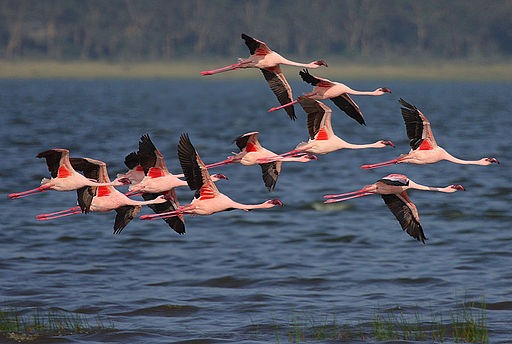 Flickr - Rainbirder - Lesser Flamingo in flight