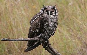 Verreaux's eagle-owl - A Verreaux's eagle-owl during a rainstorm.