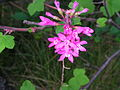 Flickr - brewbooks - Red Flowering Currant.jpg