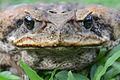 Flickr - ggallice - Cane toad portrait.jpg