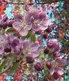 Flickr - jimf0390 - JimF 04-21-10-0007a crab apple blossoms at WITCC.jpg