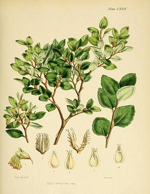 Nothofagus betuloides - Image: Flora Antarctica Plate CXXIV