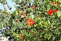 Flora of Israel IMG 1467 (11771982045).jpg