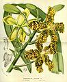 Flore des serres v13 177a.jpg