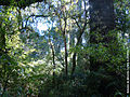 Floresta Ombrófila Mista.JPG
