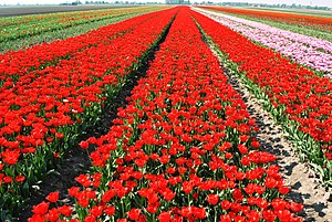 Lisse - A field of tulips in Lisse