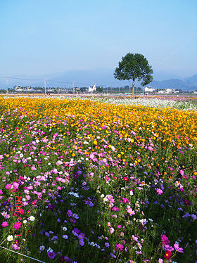Flower-sea in Sinshe.JPG