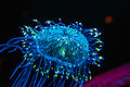 Flower Hat Jelly Monterrey Bay Aquarium 2015.jpg