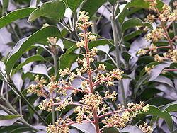 flor da manga