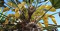 Flowering chusan palm - Flickr - Torquay Palms.jpg