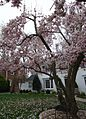 Flowering tree Summit NJ April.JPG