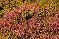 Flowers Nepal 10159.JPG
