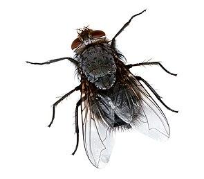 Schmeißfliege (Calliphora spec.)