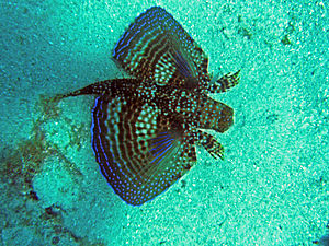 English: Photo of a flying gurnard fish taken ...