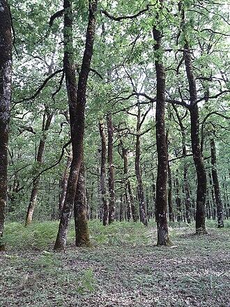 Foloi oak forest - Image: Folfor 2