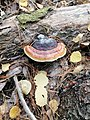 Fomitopsis pinicola 94751914.jpg