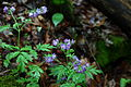 Forest-flowers-spring - West Virginia - ForestWander.jpg