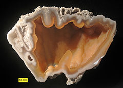 A nodule of gray fossilized coral which has been sliced in half with the halves lying opposite each other and showing the hollow center.