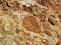 Fossiliferous sandstone (Vinton Member, Logan Formation, Lower Mississippian; Hanover Pit, Licking County, Ohio, USA) 3 (33684181198).jpg