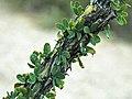 Fouquieria splendens (ocotillo) 3 (38764512145).jpg