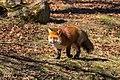 Fox (28142538460).jpg