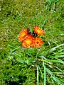 Fox and cubs (Hierachium aurantiacum) - geograph.org.uk - 899540.jpg