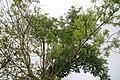 Fraxinus uhdei 9zz.jpg