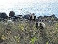 Frigatebirds - North Seymour Island - Galapagos Islands - Ecuador (4871086744).jpg