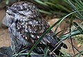 Frogmouth sits still waiting for the dark (1924715272).jpg