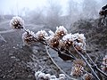 Frosted burrs - geograph.org.uk - 638613.jpg