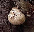 Fungi on tree.jpg
