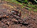 Fungus Beetle (Triplatoma ?, Erotylidae) (8406232564).jpg